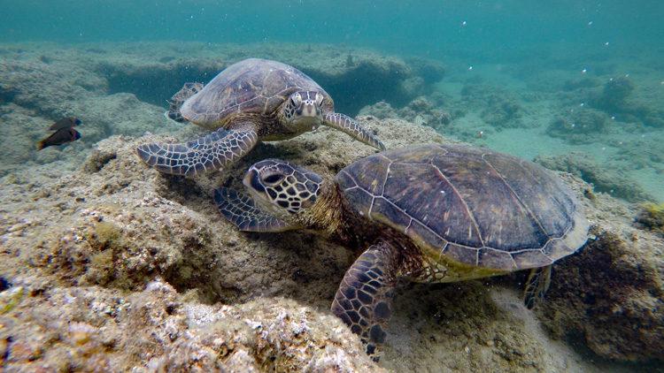 Two sea turtles (honu) at Anini Beach